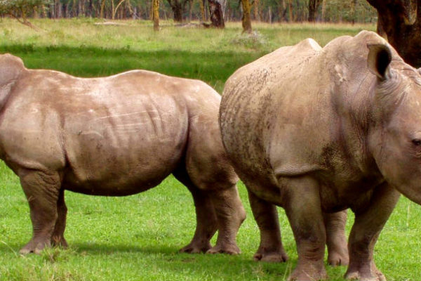 Two white rhinos (Photo: Karl Stromayer)