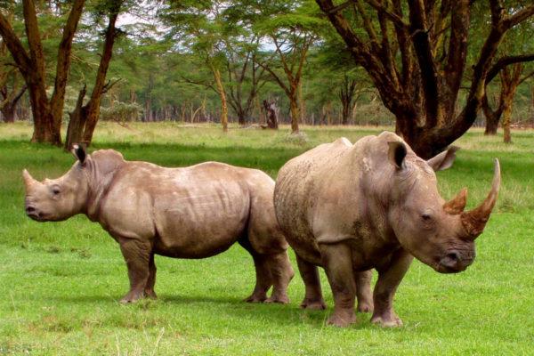 Two white rhinos (Photo: Karl Stromayer)