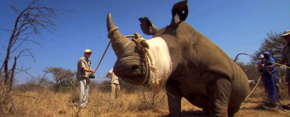 Rhino bandaged