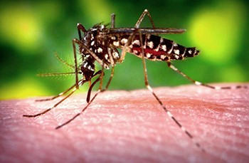 Aedes species mosquito. CDC