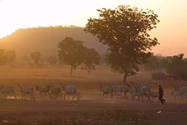 A Fulani man herds cattle in northern Cameroon