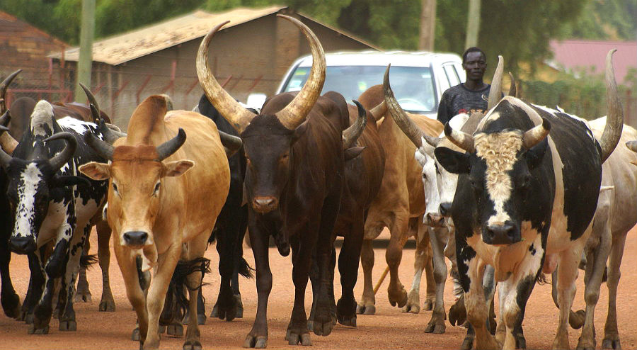 A Dinka man herding cattle in South Sudan (Photo: Ranjit Bhaskar, via Al Jazeera English).