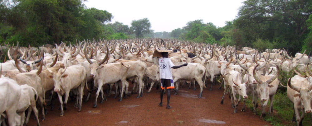 A herd of cows on the road to Bor South Sudan. (Photo: BBC World Service)