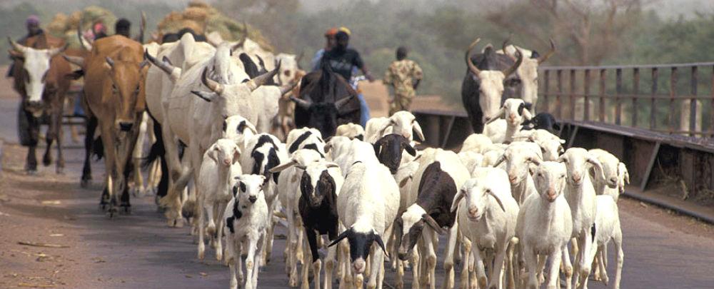 Herding cattle in Mali