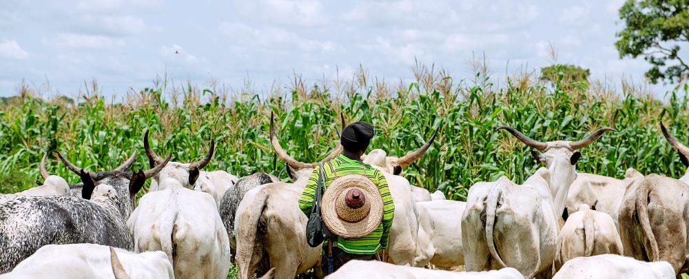 Cattle grazing near a maize field in Nigeria