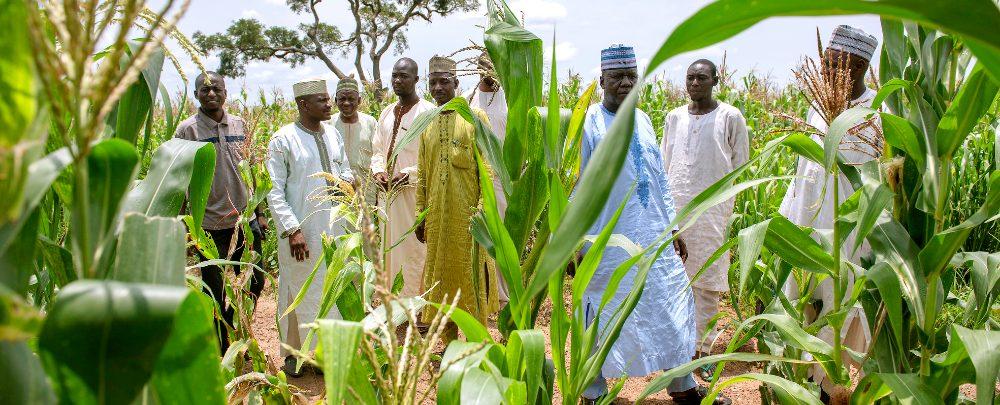 Maize farmers in Nigeria